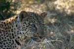 Leopard I helped release while in Africa