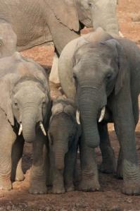 Three elepants standing together Photo By: Matthew Kohn
